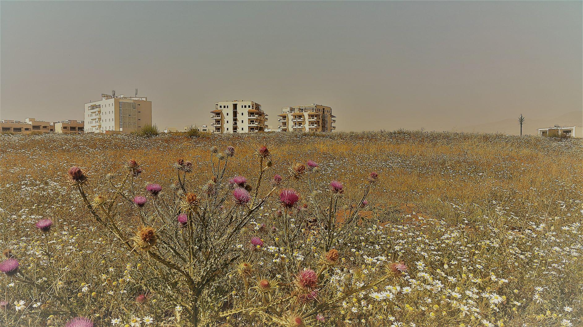 Le terrain d'un futur centre commercial en fleurs. Les ruines au fond à droite paraissent presque romantique.